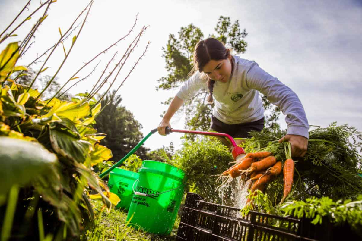 A student washes carrots in the Stewardship Garden.